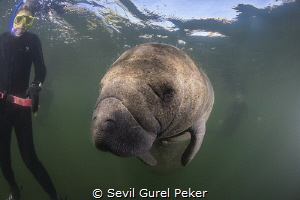 Manatee with divers.Crystal River by Sevil Gurel Peker